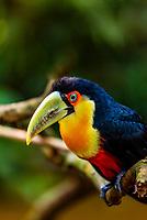 Toucan, Parque des Aves (Bird Park), Foz do Iguacu, Brazil.