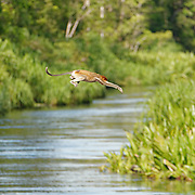 Proboscis monkey leaps into the waters of the Sekonyer River, Tanjung Puting National Park. Central Kalimantan region.  Borneo