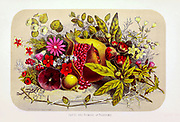 Fruit and flowers of Palestine. chromographic engraving, [chromogenic print, also known as a C-print or C-type print, a silver halide print, or a dye coupler print] from the book 'Palestine, past and present' with Biblical, Literary and Scientific Notices by Rev. Osborn, H. S. (Henry Stafford), 1823-1894 Published in Philadelphia, by J. Challen & son; in 1859. On White Background