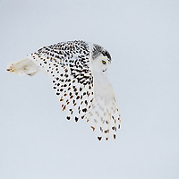 Snowy Owl hovering overhead in strong gusty winds. Its wings are in the full  downward position.