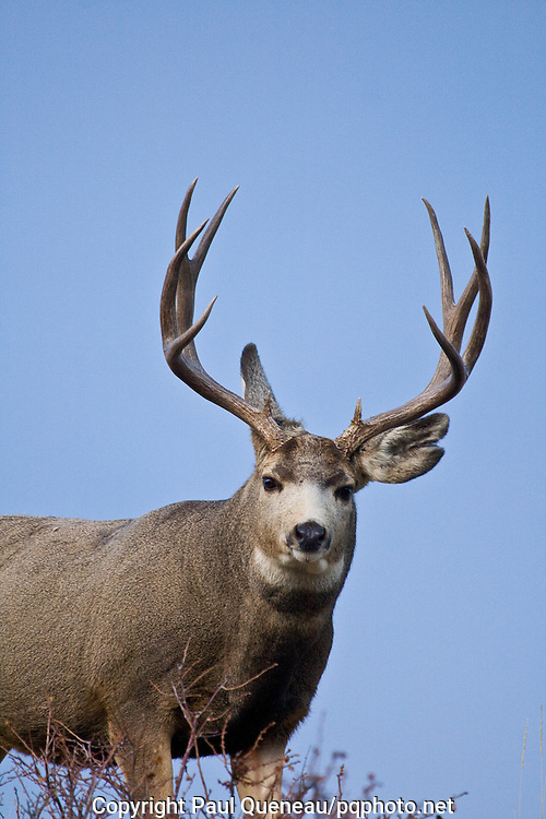 A linebacker of a mule deer buck stands resolute, neck engorged with the rut.