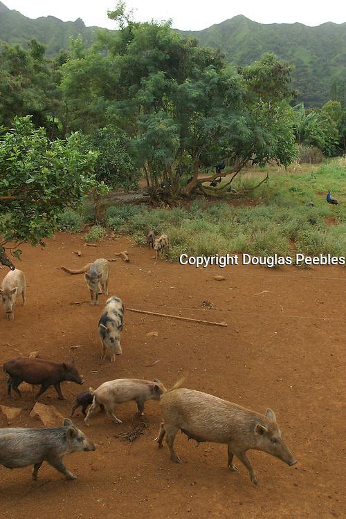 Pigs, Kauai<br />