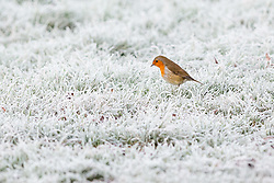 © Licensed to London News Pictures. 27/12/2016. Horsham, West Sussex, UK.  A robin sits on frozen frost covered ground in Horsham, West Sussex. Parts of the south of England have woken to frost and freezing weather this morning.  Photo credit: Vickie Flores/LNP