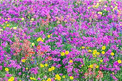Assorted wildflowers near New Berlin, Texas, USA.
