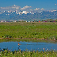 A mallard and her ducklings swim in a small pond in Montana's Gallatin Valley, near Bozeman.  Behind are the Bridger Mountains.