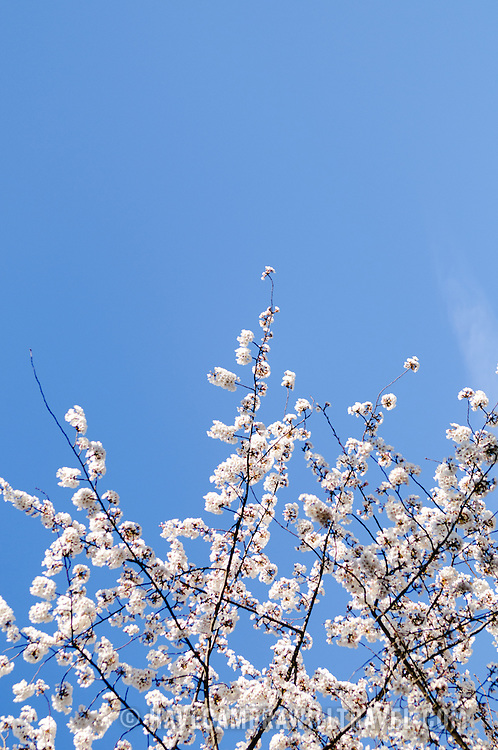 Branches of Cherry Blossom flowers in the bottom of the frame, with clear blue sky through the rest of the frame, with copyspace at the top.