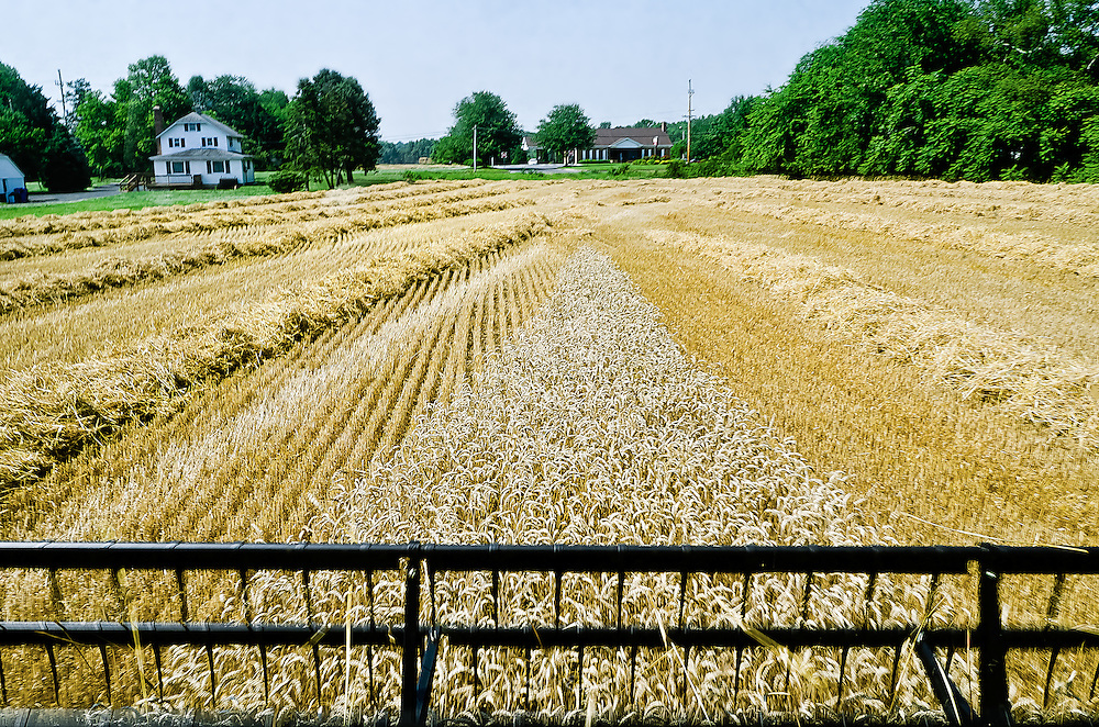 The last sweep in this field of wheat for the combine before moving to an adjacent field to harvest.