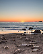 Relaxing Elephant Seals at sunset in San Simeon California