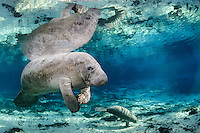 Florida manatee, Trichechus manatus latirostris, a subspecies of the West Indian manatee, endangered. Series depicting the close bond of manatee mother and calf. A mother floats at the calm surface while allowing her young calf to play in the sand. Fish, bream, Lepomis spp., are present. Peaceful, natural, undistrubed scene. Horizontal orientation with blue spring water, rainbow sun rays and reflection. Three Sisters Springs, Crystal River National Wildlife Refuge, Kings Bay, Crystal River, Citrus County, Florida USA.
