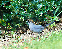 Gray Catbird. Image taken with a Nikon D800 camera and 600 mm f/4 VR lens.