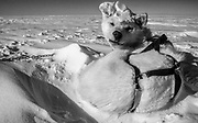 Dog woken from sleep ready for sledging and skiing across Greenland icecap, Arctic