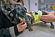 Nederland, Nijmegen, 25-11-2019 Onze hond, teckel Teun, laat zich gewillig door de dierenarts ondezoeken alvorens hij zijn jaarlijke inenting tegen rabies, hondsdolheid, en de ziekte van Weil krijgt. Foto: Flip Franssen