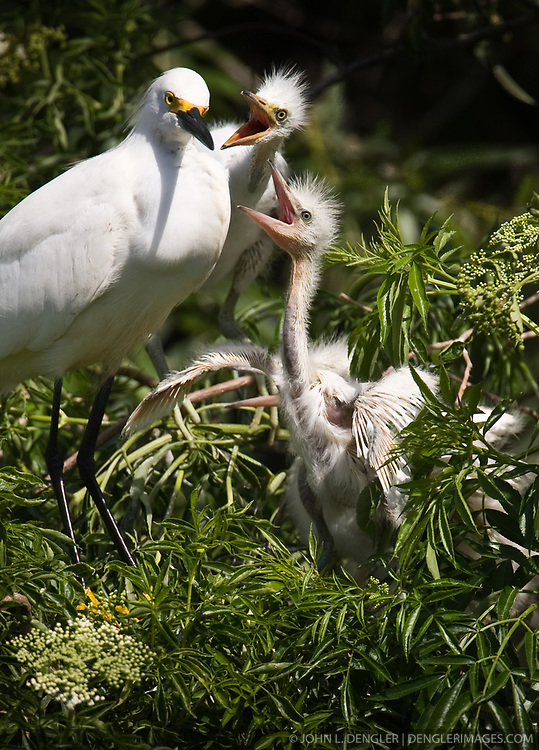 Snowy egret (Egretta thula) chicks look for food from their parent. Snowy egrets were hunted almost to extinction for its plumage, used by the fashion industry, in the 1800's. The nest is located in the Gatorland alligator breeding marsh and bird sanctuary near Orlando, Florida. The bird sanctuary is the largest and most easily accessible wild wading bird rookery in east central Florida.