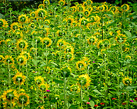 Sunflower Field of Dreams. Image taken with a Fuji X-T2 camera and 100-400 mm OIS lens
