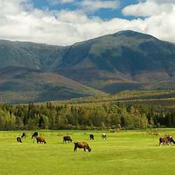Cows graze at the E and R Dairy Farm in Jefferson, New Hampshire.  The Presidential Range is in the distance.  White Mountains.