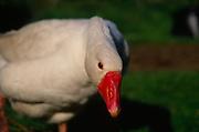 ADD2WF White Embden English goose head close up