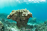 a large head of lobe coral, Porites lobata, is eroded all around the base, and in danger of collapsing in high surf or storm conditions; the layer of live coral at the top is lightly bleached during summer 2019 marine heat wave, and may die due to high water temperatures, Honaunau Bay, South Kona, Hawaii Island ( the Big Island ) Hawaii, USA ( Central Pacific )