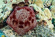 Cushion Starfish, Culcita novaeguineae, off coast of Kona Hawaii