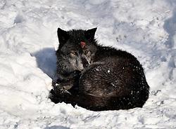 28.12.2014, Wildtierpark, Bad Mergentheim, GER, Wölfe im Wildtierpark Bad Mergentheim, im Bild blutende Wunde am Kopf, Timberwolf, Kanadischer Wolf (Canis lupus occidentalis) im Schnee, captive // Wolves in the Wildtierpark in Bad Mergentheim, Germany on 2014/12/28. EXPA Pictures © 2015, PhotoCredit: EXPA/ Eibner-Pressefoto/ Weber<br /> <br /> *****ATTENTION - OUT of GER*****