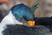 Imperial shag (Phalacrocorax atriceps) from Saunders Island, the Falkland Islands