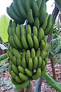 Bananas growing at a banana plantation in La Palma, Canary Islands, Spain. La Palma, also San Miguel de La Palma, is the most north-westerly Canary Island in Spain. La Palma has an area of 706 km2 making it the fifth largest of the seven main Canary Islands. Banana production is very important to the economy of La Palma. The best areas are between sea level and 300 meters above sea level.<br /> Most bananas are grown by smallholders who sell their products to one of the co-operatives on the island, which then takes care of export. The main type of banana grown on La Palma is smaller and straighter than the Fyffes banana, but have a better texture and flavour.