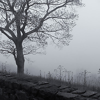 """""""Foggy Dream"""" mono <br /> <br /> Beautiful lone tree against a stone wall in fog during spring in the Blue Ridge Mountains.<br /> <br /> All About Fog by Rachel Cohen"""