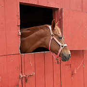 Horse with a bridle in a window in a red barn
