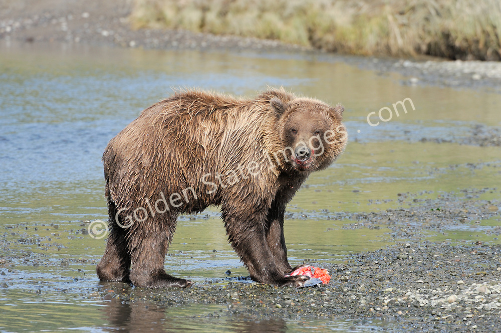 A large male or boar tears into a Silver Salmon.  <br /> <br /> Brown Bears and Grizzly Bears are the same species. In general Bears living within 50 miles of the coast are considered browns. Animals living further inland are considered Grizzlies.  <br /> <br /> Grizzlies are omnivores feeding on a variety of plants berries roots and grasses in addition to fish insects and small mammals. Salmon are a key part of their diet. Normally a solitary animal they will congregate along streams and rivers during Salmon runs. Weight to over 1200 pounds.    <br />  <br /> Range: Native to Asia Africa Europe and North America. Now extinct in much of their original range.    <br />   <br /> Species: Ursus arctos