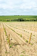 Newly planted young vines on Route Touristique du Vignobles Nantais, Loire Valley, France