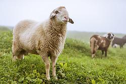 THEMENBILD - Schafe auf einer Berwiese im Nebel, aufgenommen am 10. August 2018 in Kaprun, Österreich // Sheep on a mountain meadow in the fog, Kaprun, Austria on 2018/08/10. EXPA Pictures © 2018, PhotoCredit: EXPA/ JFK