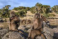 Dschelada-Weibchen (Theropithecus gelada) sitzen am Abend auf Steinen, Simien Nationalpark, Debark, Region Amhara, Äthiopien / <br /> <br /> Gelada females (Theropithecus gelada) sitting on stones in the evening, Simien National Park, Debark, Amhara Region, Ethiopia