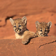 Mountain Lion or Cougar, (Felis concolor) Young cubs in canyonlands of southern Utah Red rock country. Captive Animal.