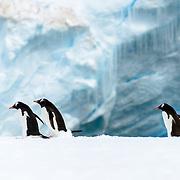Three Gentoo penguins walk on a narrow ice shelf on the shoreline of Cuverville Island on the Antarctic Peninsula.