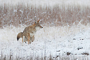 A coyote (Canis latrans) poops in a snow-covered field near the Madison River in Yellowstone National Park, Wyoming.