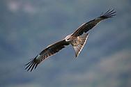 Black-eared kite, Milvus migrans lineatus, Bi Tan Bay, Taiwan