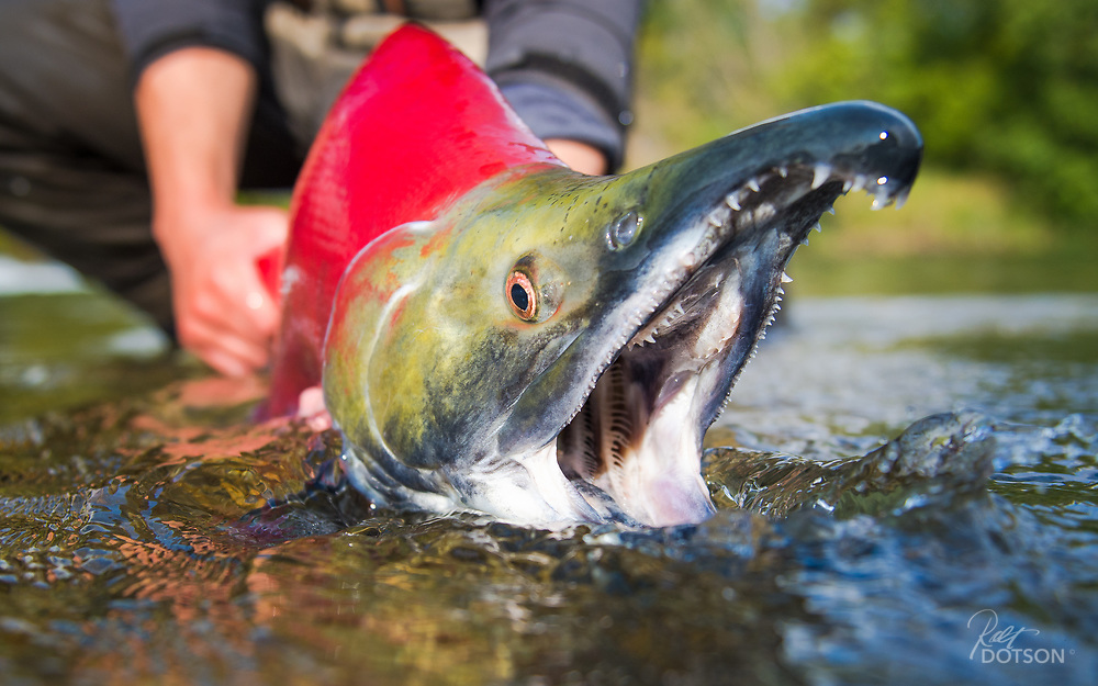 Male sockeye displays morphing jaws that develop quickly once they enter the fresh water of Lake Iliamna, AK.