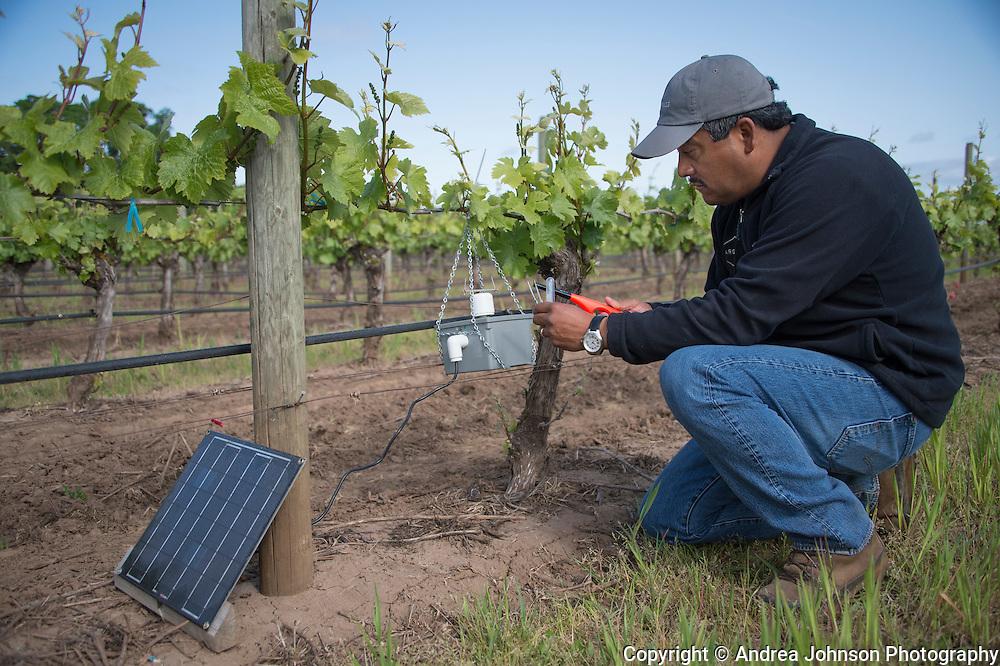 Jaime checking spring growth at Argyle's Lone Star Vineyard, Eola Hills AVA, Willamette Valley, Oregon