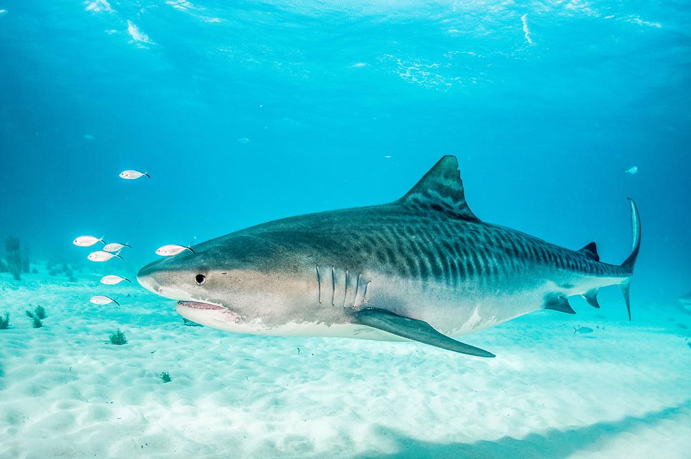 Tiger shark (Galeocerdo cuvier) with bar jacks (Caranx ruber) riding the bow wave of the shark. Image made at Tiger Beach, Grand Bahama Island, Bahamas.