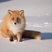 Red Fox, Hokkaido, Japan