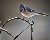 Blue Jay. Image taken with a Nikon D5 camera and 600 mm f/4 VRII lens (ISO 1000, 600 mm, f/4, 1/1250 sec)