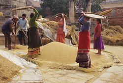 Asia, Nepal, Kathmandu, family using straw platters to thresh rice in city square