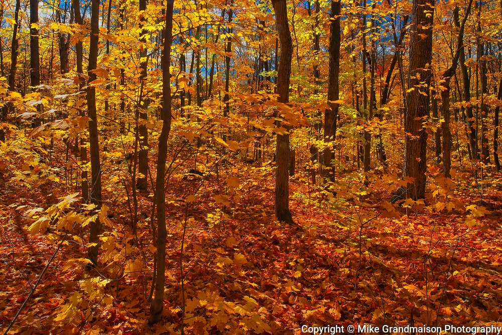 HArdwood forest of sugar maple trees (Acer saccharum) in autumn<br />Fairbank Provincial Park<br />Ontario<br />Canada