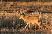 Whitetail deer during autumn rut
