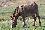 Wild Burro grazing.(Equus asinus).Custer State park, South dakota
