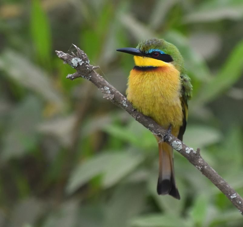 A little bee-eater (Merops pusillus) perches on a branch waiting for flying insects. Arusha National Park. Arusha, Tanzania.
