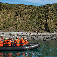 Guests on a zodiac cruise pass a beach covered in Antarctic fur seals at Elsehul, a bay on the northwest coast of South Georgia Island.