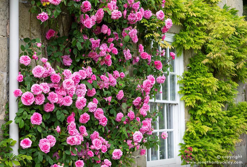 Rosa Gertrude Jekyll = 'Ausbord' AGM growing by a window