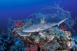 This young Gray Reef Shark, Carcharhinus amblyrhynchchos, is a victim of ghostfishing, having become tangled in a scrap of abandoned fishing net, causing it to suffocate.  Burma Banks, Myanmar, Andaman Sea