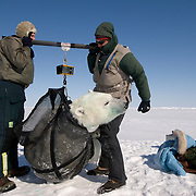 Dr. Steve Amstrup, USGS biologist, and Daniel Cox use a weight bar to lift and weigh a small, 365-pound female polar bear. Beaufort Sea