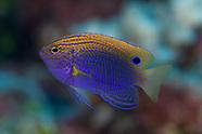 Pomacentrus bankanensis (Speckled Damselfish)